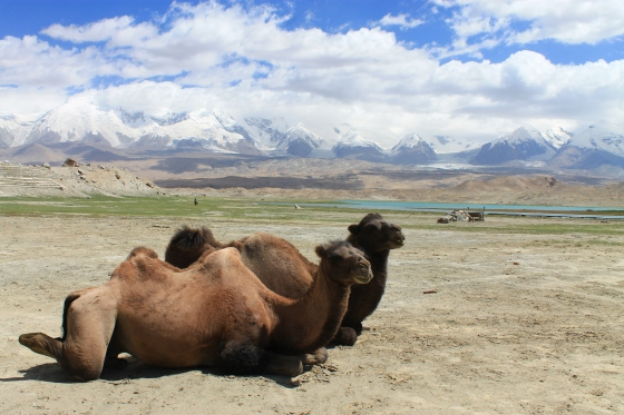 Wild camels at Karakul Lake